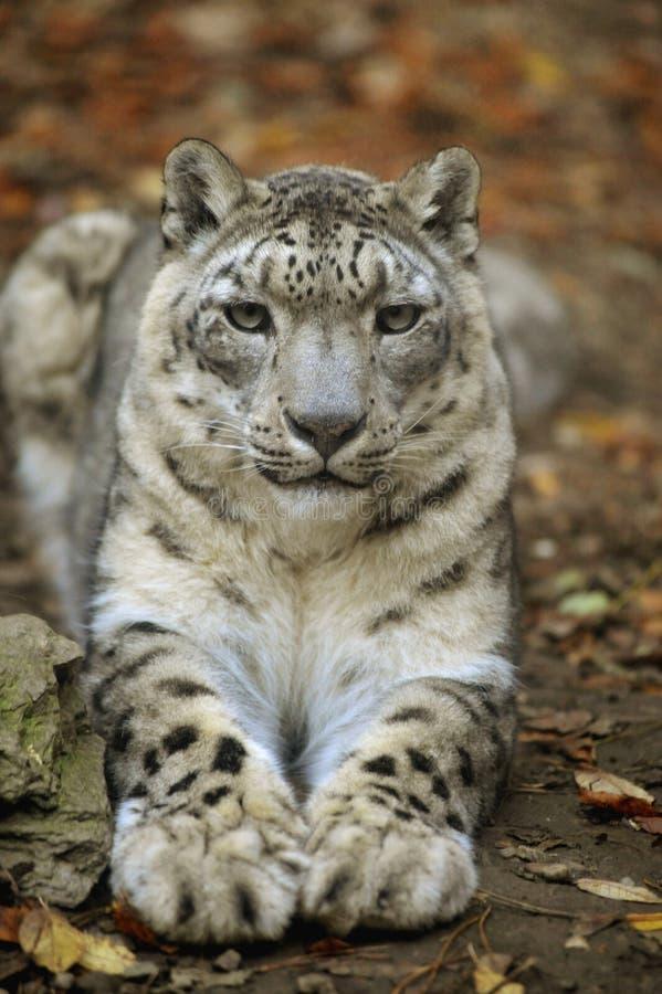 Leopardo de neve 2 foto de stock