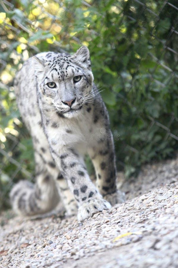 Leopardo de neve fotos de stock royalty free