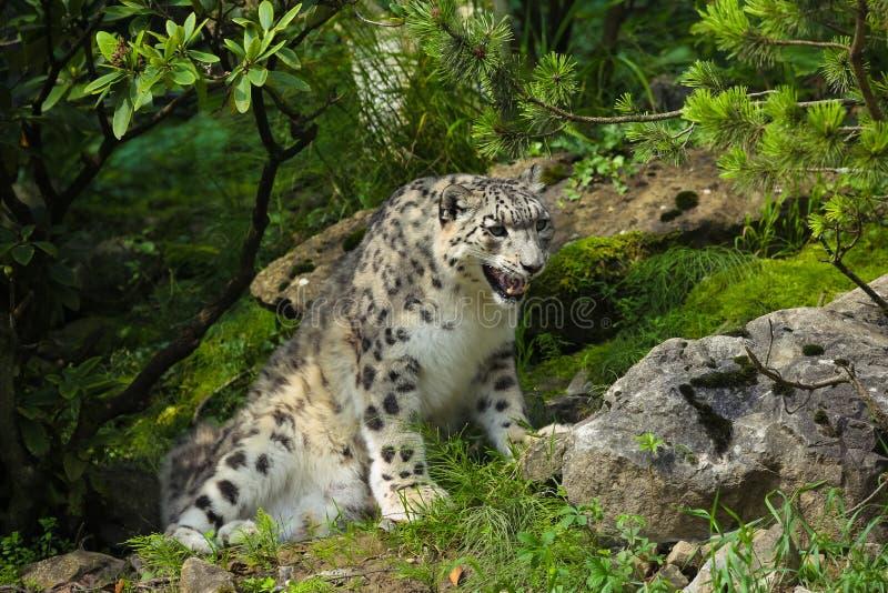 Leopardo de neve foto de stock