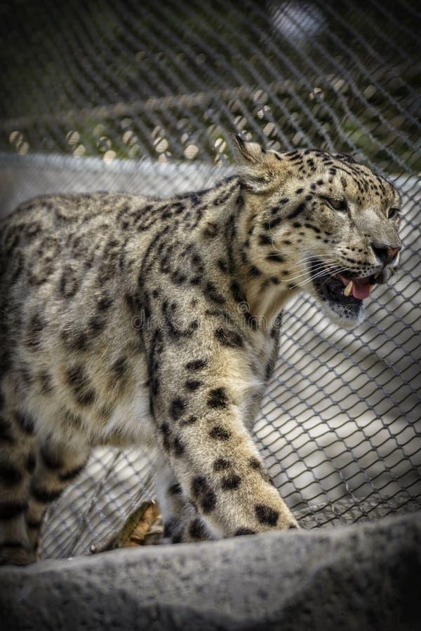 Leopardo de neve bonito fotografia de stock