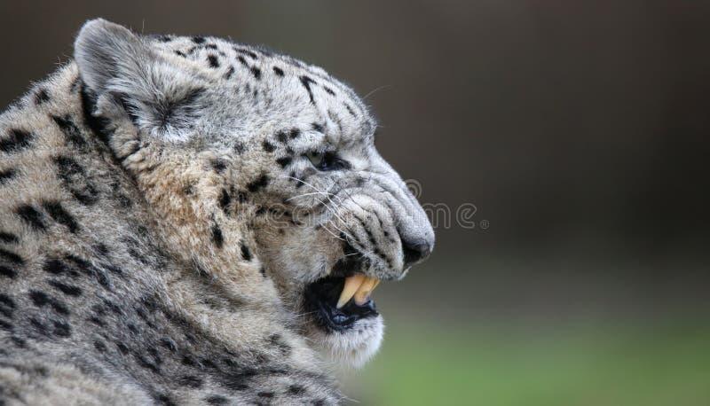 Leopardo de neve com pasta da cópia imagem de stock royalty free