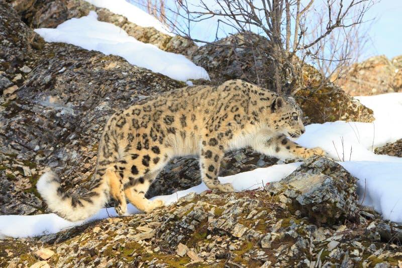 Leopardo de neve na caça fotos de stock