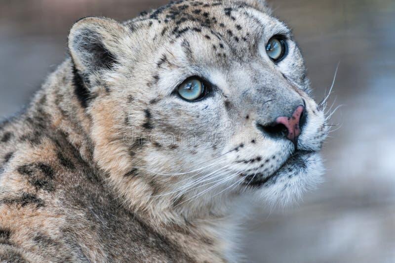 Leopardo de neve, leopardo de neve, predador, gato selvagem, montanhas, neve, animais selvagens fotos de stock royalty free