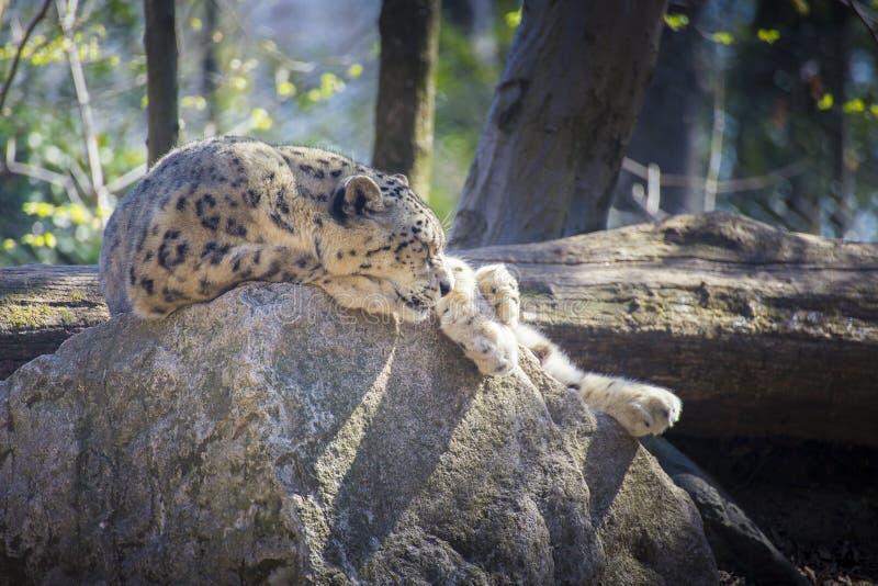 Leopardo de neve que dorme em uma rocha foto de stock royalty free