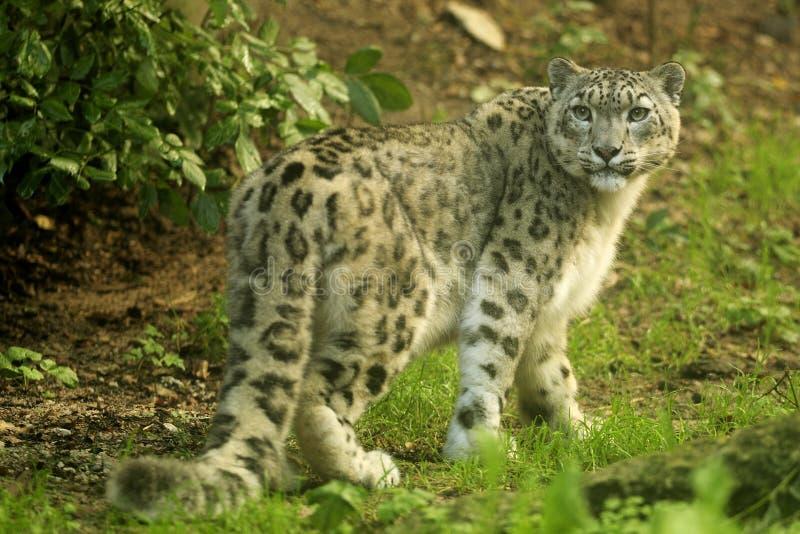 Leopardo de neve (uncia de Uncia) imagem de stock royalty free