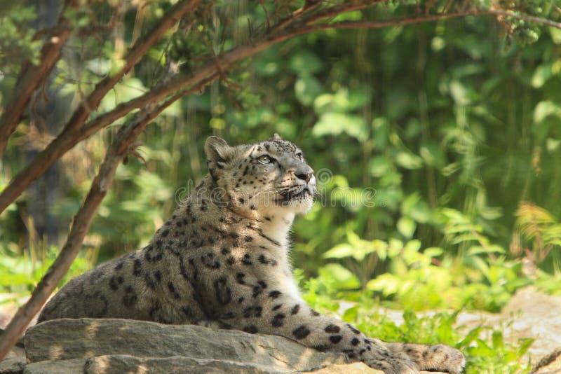 Leopardo de nieve, fotografía de archivo