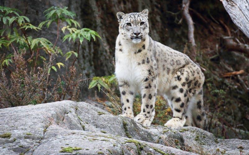 Leopardo de nieve foto de archivo libre de regalías