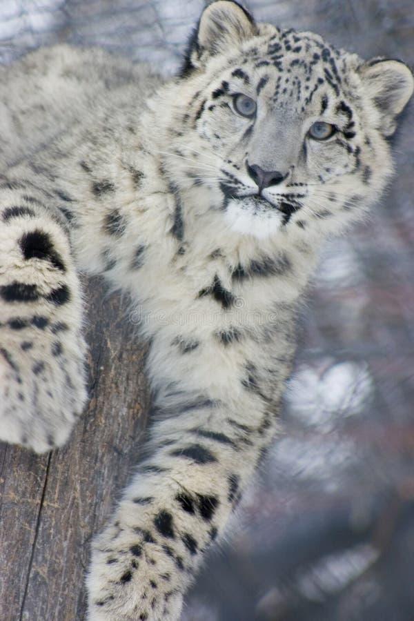 Leopardo de nieve Cub imagen de archivo