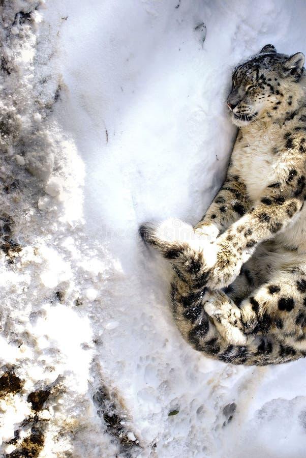 Leopardo de nieve del invierno fotos de archivo