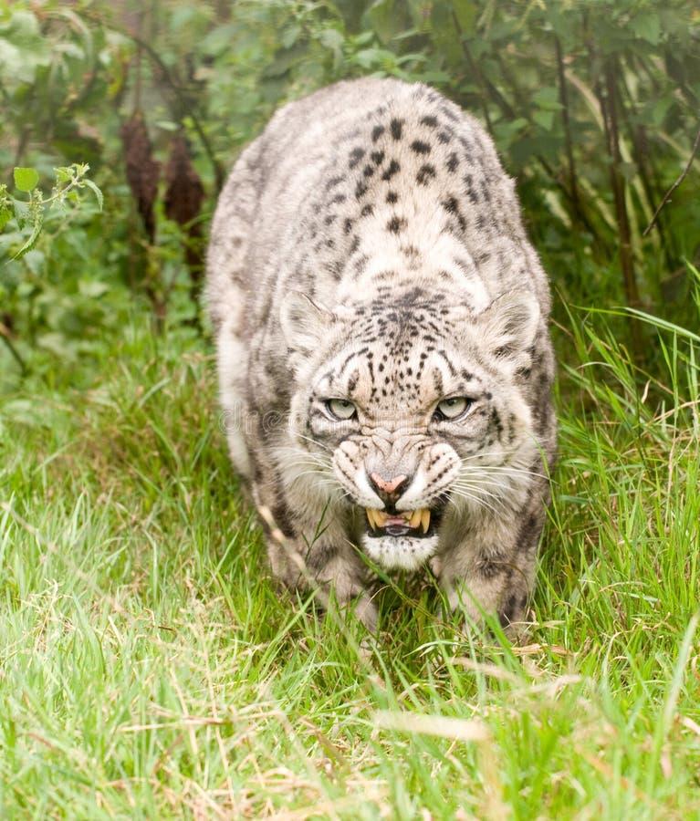 Leopardo de nieve que gruñe foto de archivo libre de regalías