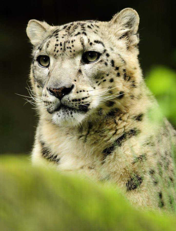 Leopardo de nieve (uncia de Uncia) imagen de archivo libre de regalías