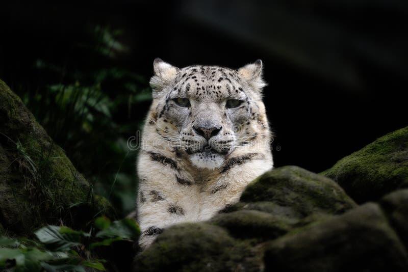 Leopardo de nieve (uncia de Uncia) foto de archivo libre de regalías