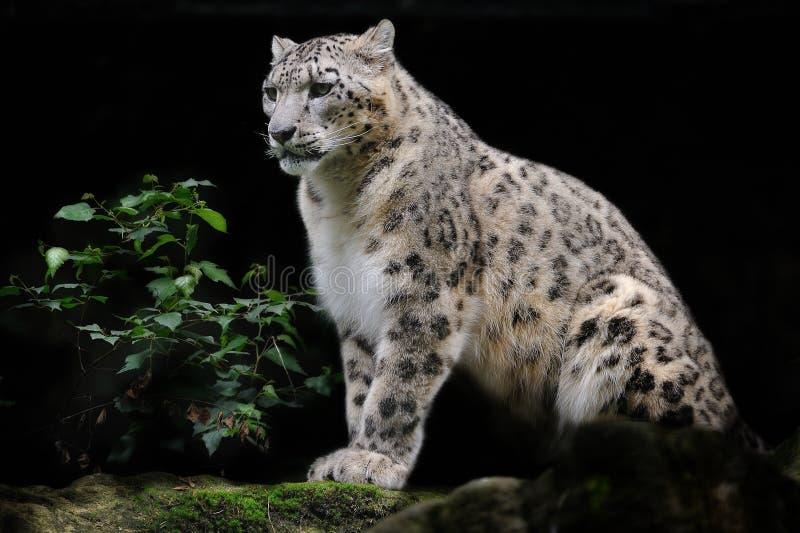 Leopardo de nieve (uncia de Uncia) imagenes de archivo