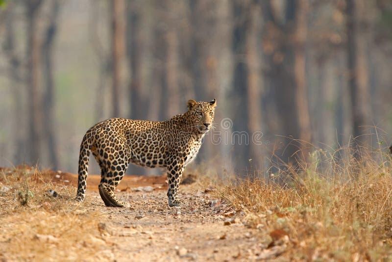 Leopardo de pie en pista seca del bosque fotos de archivo