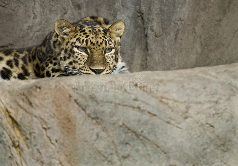 Leopardo del Amur immagine stock