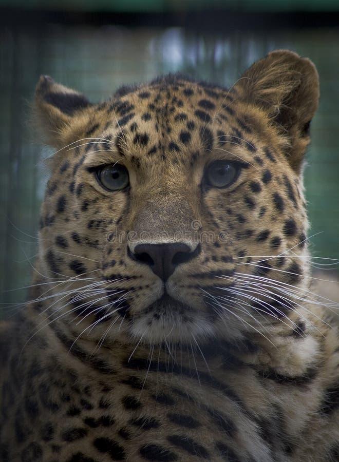 Leopardo dell'Amur immagine stock libera da diritti
