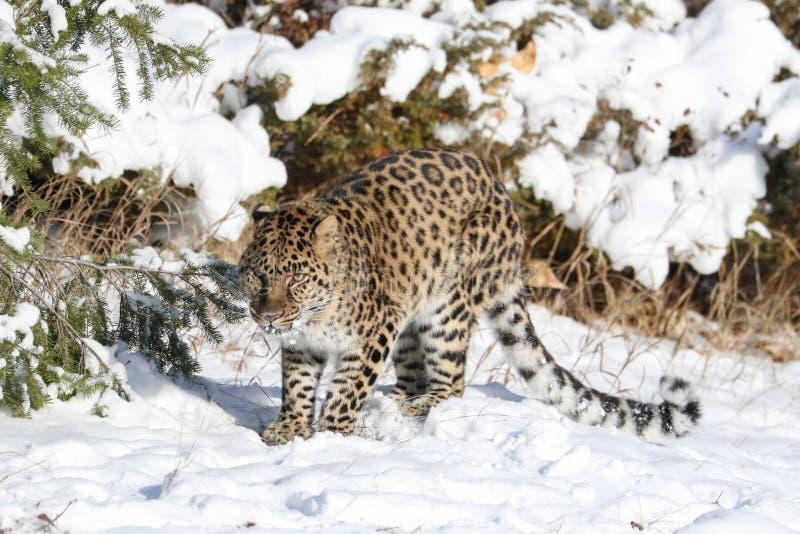 Leopardo dell'Amur nella neve immagine stock