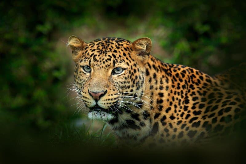 Leopardo dell'Estremo-Oriente dell'Amur, orientalis di pardus della panthera, ritratto del dettaglio del gatto selvaggio nell'hab immagine stock libera da diritti