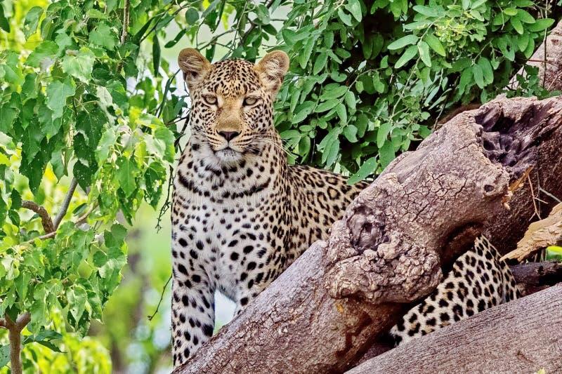 Leopardo dell'Estremo-Oriente, o lat del leopardo dell'Amur Orientalis di pardus della panthera Primo piano, ritratto Attualmente immagini stock libere da diritti