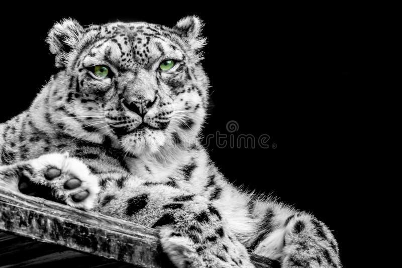 Leopardo delle nevi in B/W fotografia stock