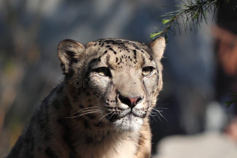 Leopardo delle nevi che dorme nello zoo in Lipsia in Germania immagini stock libere da diritti