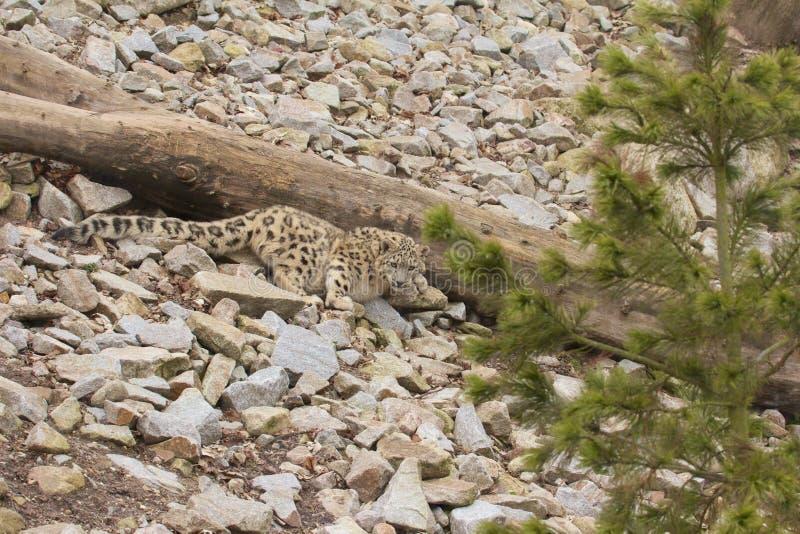 Leopardo delle nevi appostantesi fotografia stock