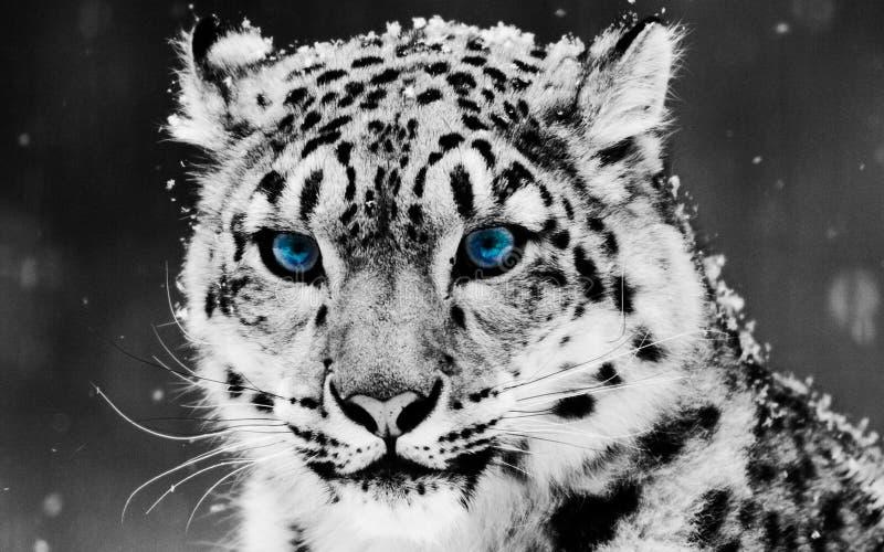 Leopardo delle nevi con i grandi bei occhi azzurri fotografie stock