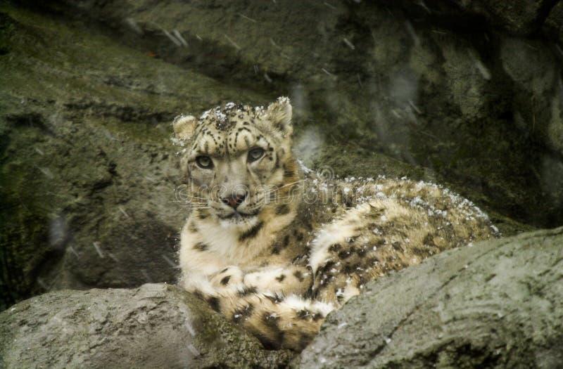 Leopardo delle nevi a Roger Williams Zoo immagini stock libere da diritti