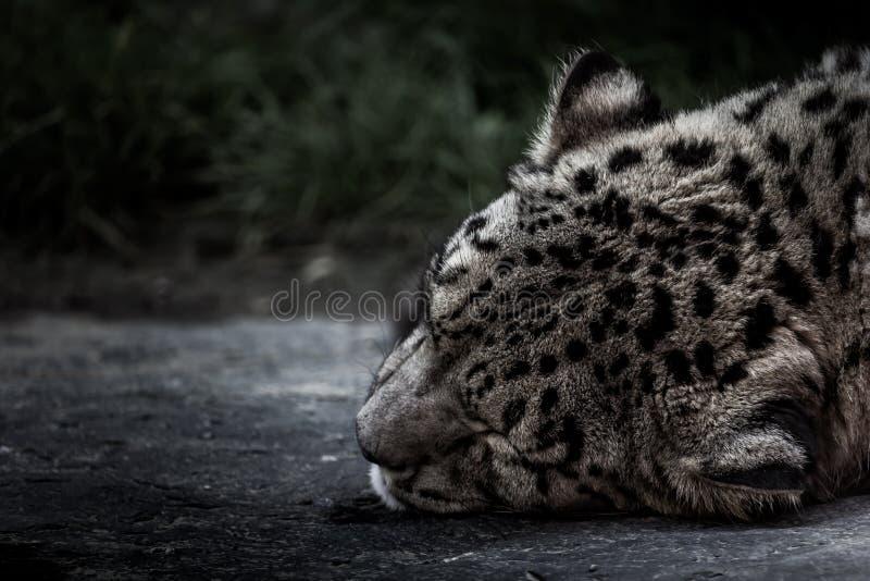 Leopardo delle nevi sonnolento fotografia stock