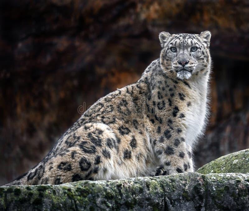 Leopardo delle nevi sulla roccia fotografia stock libera da diritti
