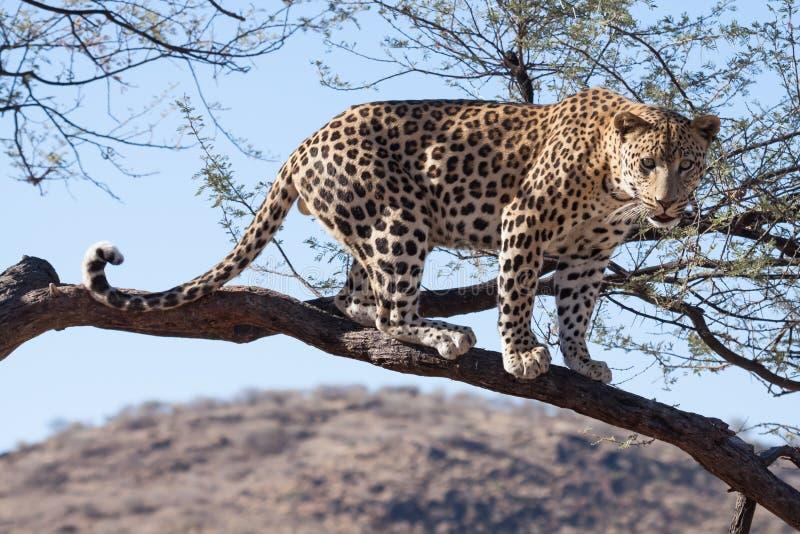 Leopardo derecho imagen de archivo