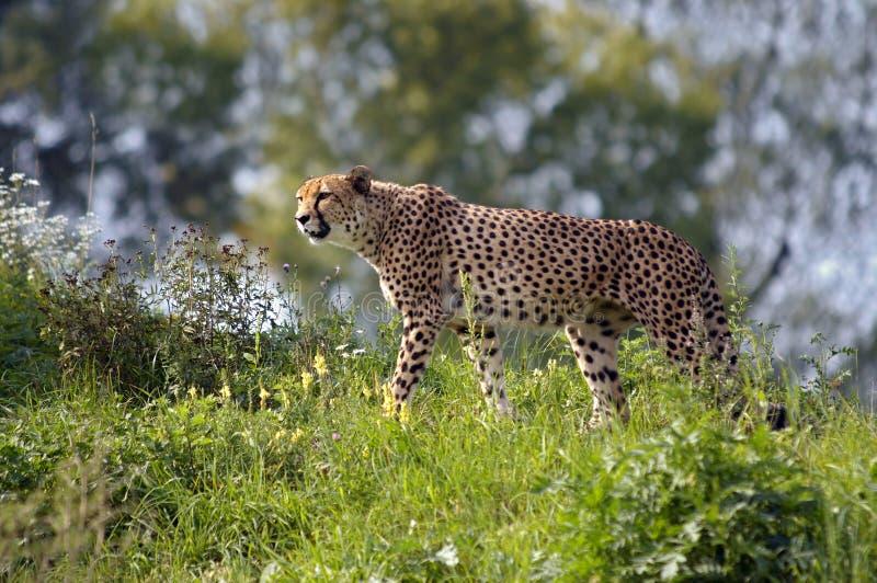 Leopardo di caccia fotografia stock