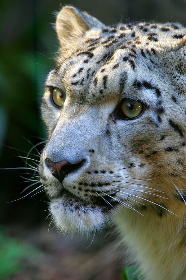Download Leopardo di neve immagine stock. Immagine di gatto, animale - 7321997