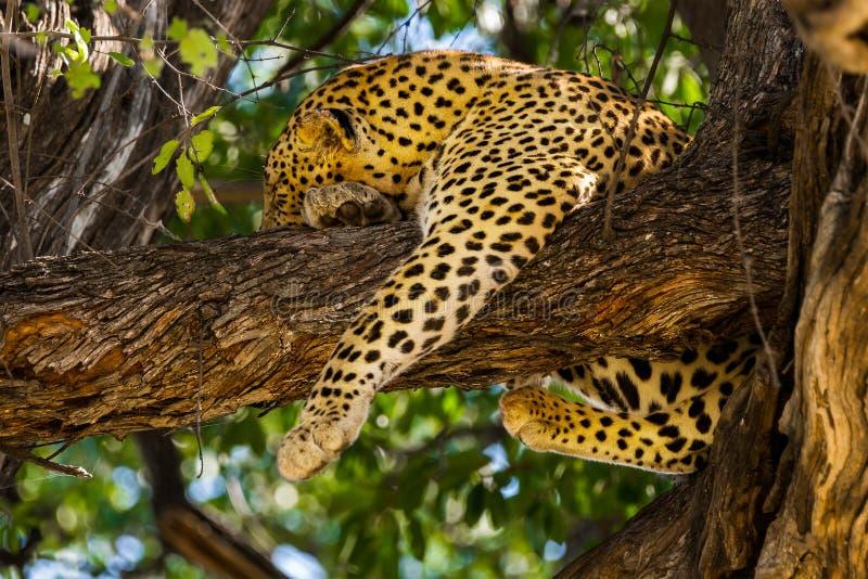 Leopardo di sonno in albero fotografie stock