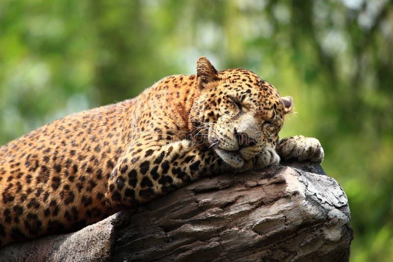 Leopardo do sono foto de stock royalty free