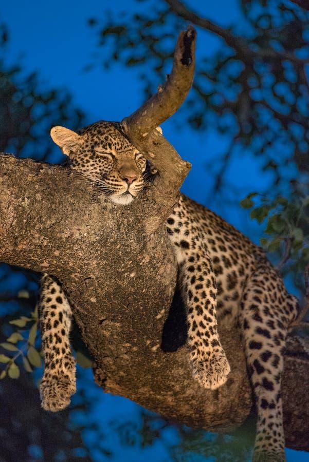 Leopardo do sono em uma árvore foto de stock