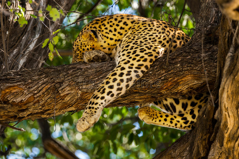 Leopardo do sono na árvore fotos de stock