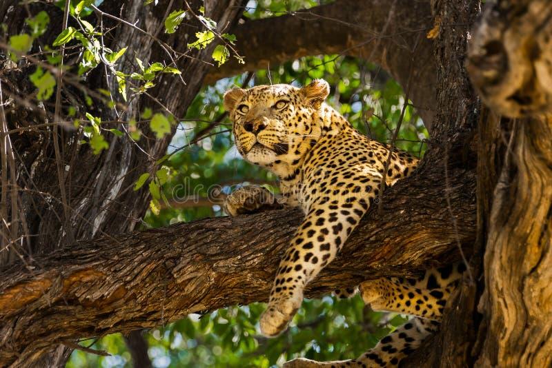 Leopardo do sono na árvore fotografia de stock royalty free