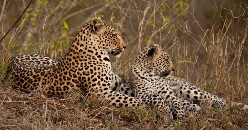 Leopardo e cub fotografie stock