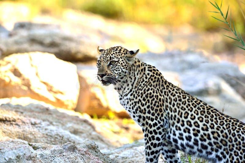 Leopardo em sua maneira ao rio em África do Sul imagens de stock