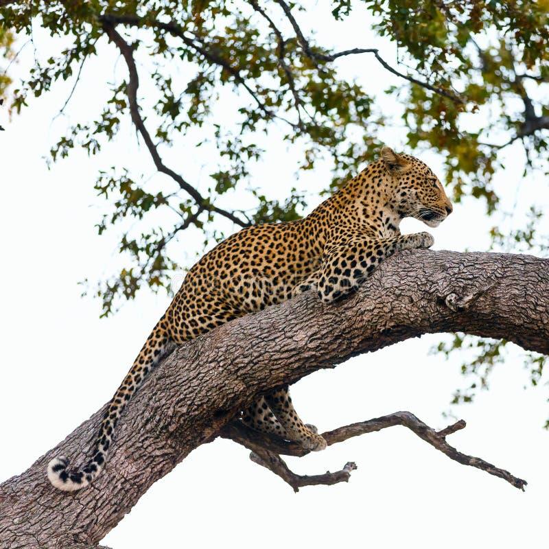 Leopardo em uma árvore foto de stock