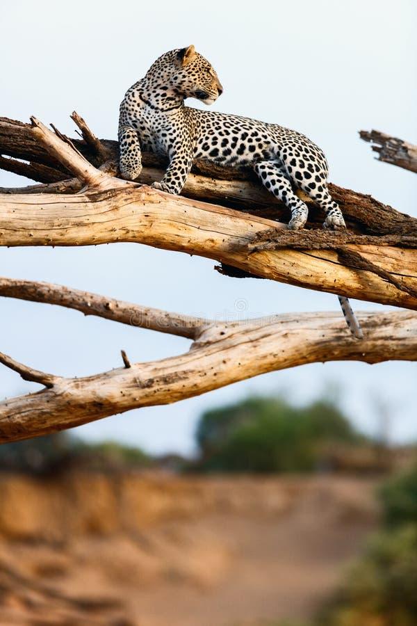 Leopardo em uma árvore imagem de stock