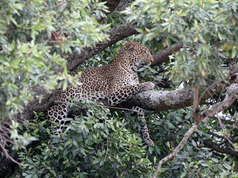 Leopardo en árbol en África foto de archivo libre de regalías