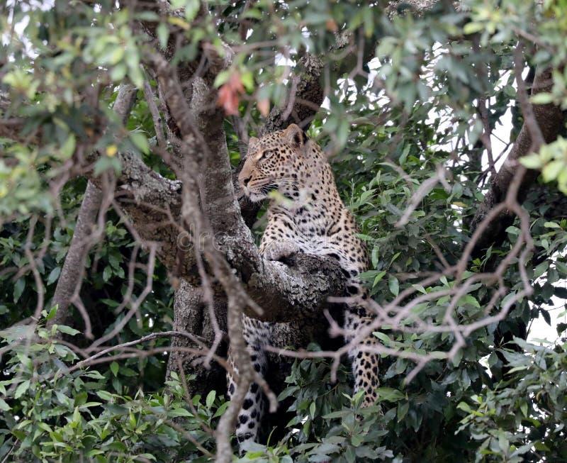 Leopardo en árbol en África imagenes de archivo