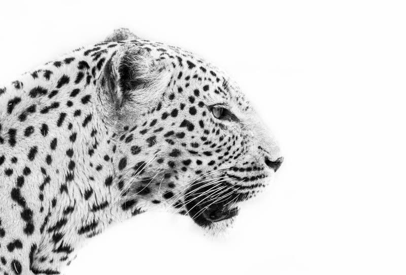 Leopardo en blanco y negro imágenes de archivo libres de regalías