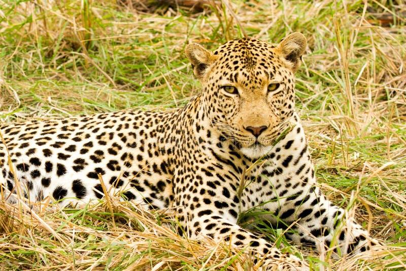 Leopardo en Bush en Suráfrica imagen de archivo