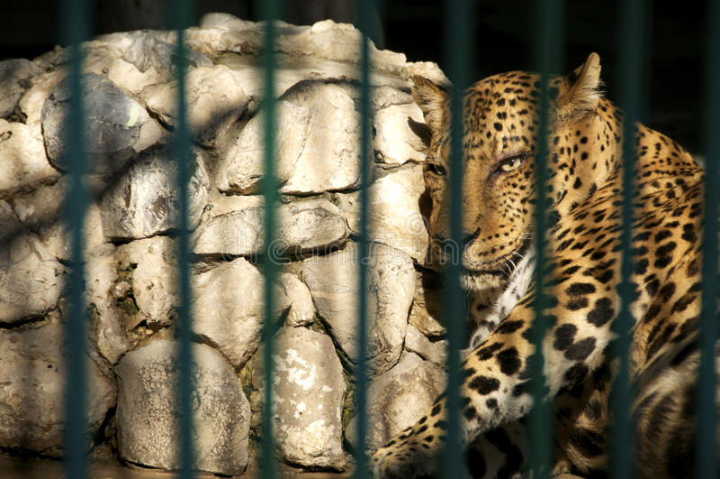 Leopardo en cautiverio fotografía de archivo
