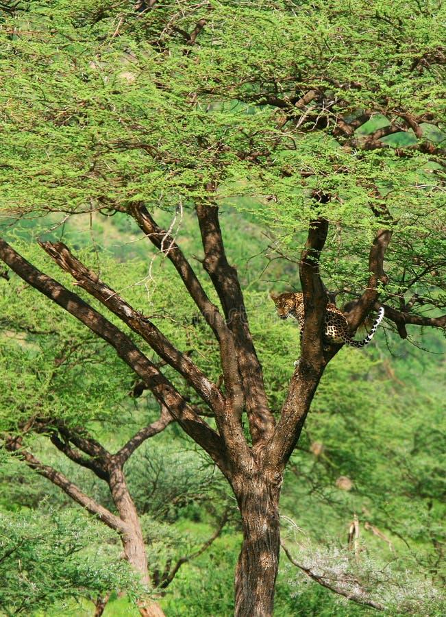 Leopardo en el árbol imagen de archivo