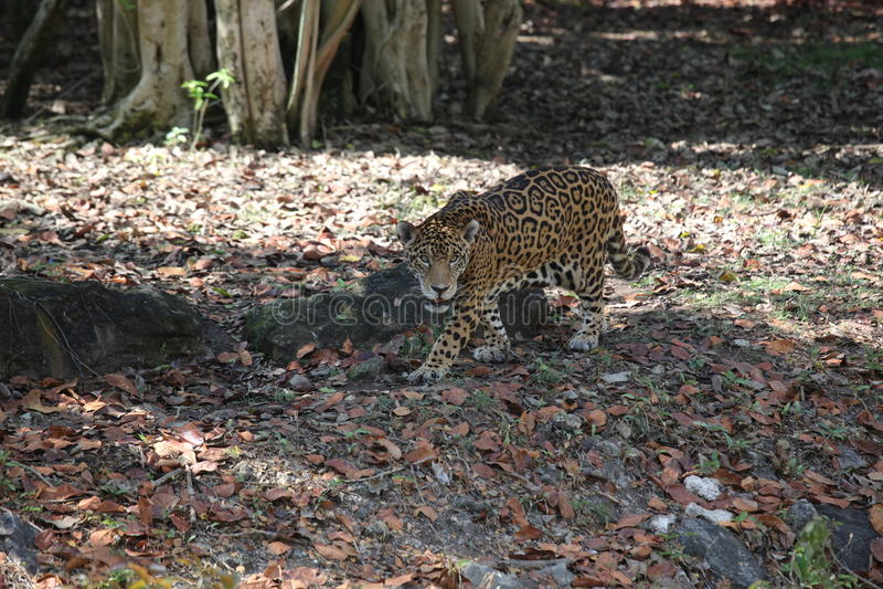 Leopardo en el bosque foto de archivo libre de regalías