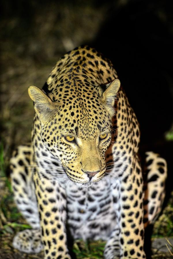 Leopardo en el guardia nocturna en Kruger fotografía de archivo libre de regalías